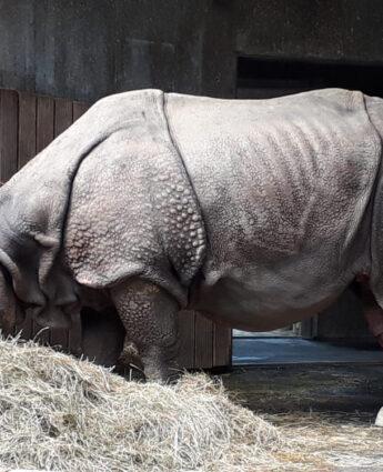 Zoo de Munich, rhinocéros sans corne