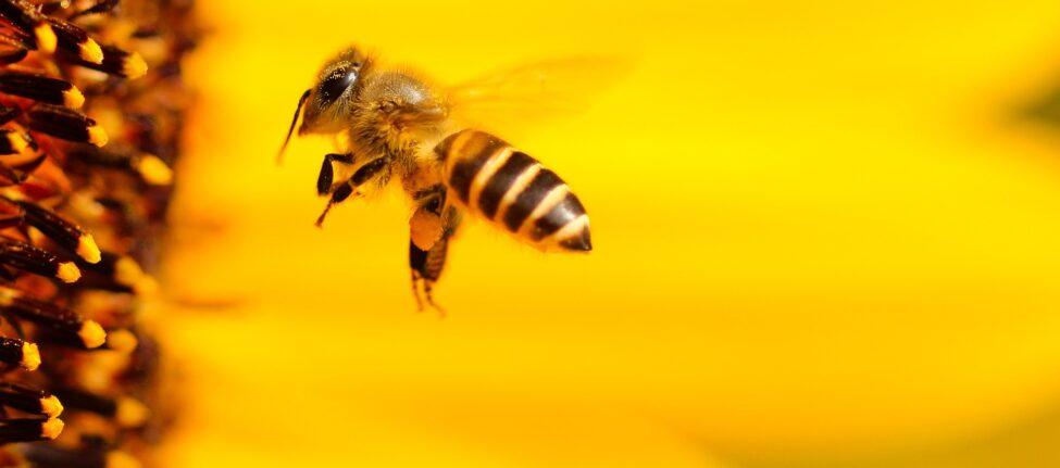 © Hans-Benn-Pixabay - Bee